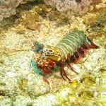 Thailand Mantis Shrimp