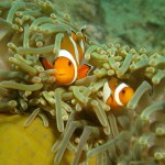 Thaland Clown Fish